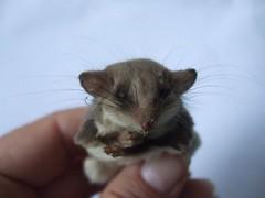 possum feathertailglider msh0211 msh021111 eekitsamouse