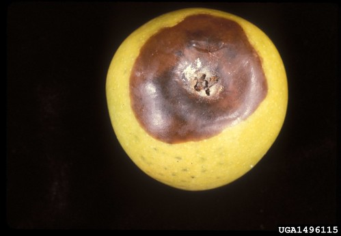 Black rot infection of apple at the calyx end. Photo courtesy of University of Georgia archives.