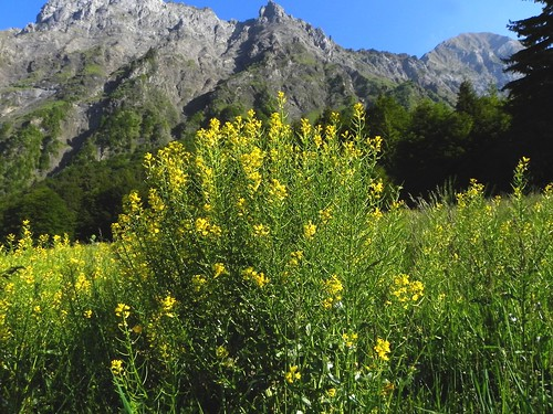Barbarée commune ou Herbe de la Ste Barbe - Meruz 002