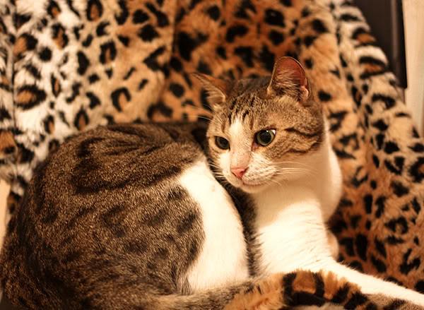 leopard_on_leopard