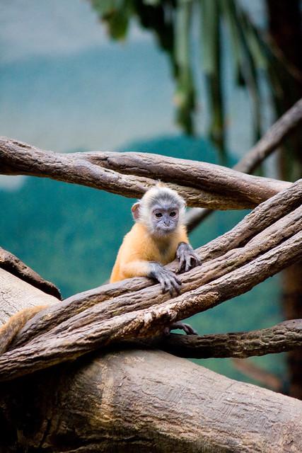 Langur, Bronx Zoo