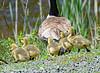 "Hurry Mom (jimgspokane) Tags: wildlife camping geese birds idahostate ""nikonflickraward"" otw"