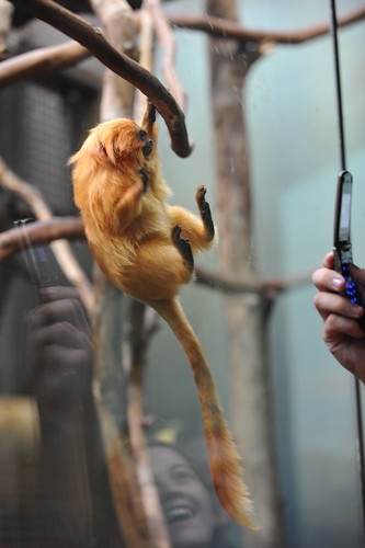 gold lion tamarin