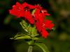 Maltese Cross - Brændende kærlighed (Lychnis chalcedonica), Juli 2009 (Isfugl) Tags: plantae lychnis caryophyllaceae maltesecross lychnischalcedonica magnoliophyta magnoliopsida caryophyllales brændendekærlighed brennendeliebe silenechalcedonica taxonomy:class=magnoliopsida taxonomy:order=caryophyllales taxonomy:family=caryophyllaceae taxonomy:kingdom=plantae taxonomy:genus=lychnis taxonomy:phylum=magnoliophyta taxonomy:species=chalcedonica taxonomy:binomial=lychnischalcedonica eolcontrib