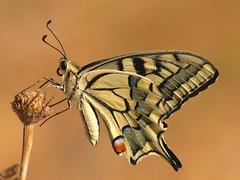 Papilio machaon (diegocon1964) Tags: lepidoptera papilio papilionidae papiliomachaon machaon papilionoidea papilionini papilioninae specanimal mywinners