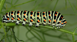 Oruga Papilio machaon 2