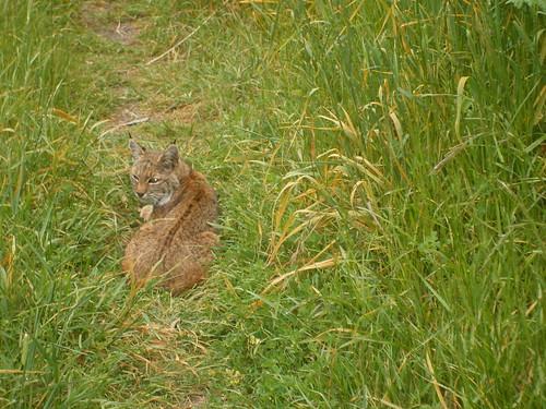 cool bobcat