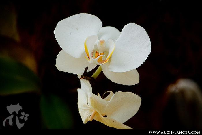 P_flower33