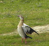 Egyptian Goose by Steve Misplon