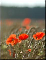 With you, everything makes sense...... (Levels Nature) Tags: uk light red england flower nature field backlight wheat somerset poppy poppies backlit westonzoyland