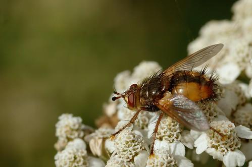 Tachina fera | Woeste sluipvlieg - Tachinid fly