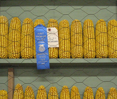 Blue ribbon corn, MN State Fair