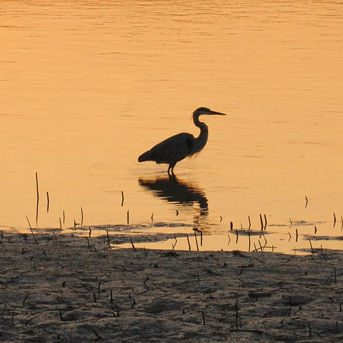 Heron at sunrise, on the Missouri River, at Saint Charles, Missouri, USA