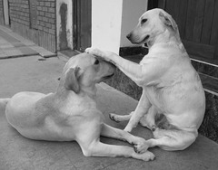 Eterno amor  (MeluRogi) Tags: bw dog chien pet white black game love blanco argentina animals ro y amor negro cuba retriever bn hund amour labs perros animales roger lovely neighbors 1001nights juego crdoba caress amore namorados m