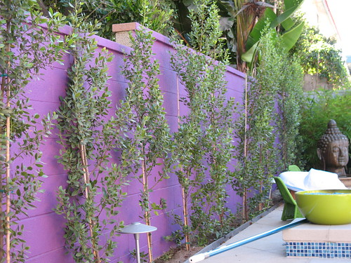 trees as a privacy screen planted along a wall