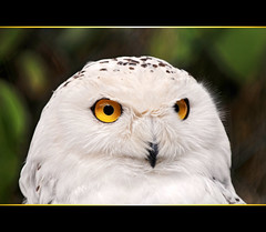Portrait of a snowy owl (Tambako the Jaguar) Tags: portrait orange white bird face yellow germany eyes nikon snowy feathers explore owl tierpark strigiformes d300 potofgold suhl fbdg vosplusbellesphotos