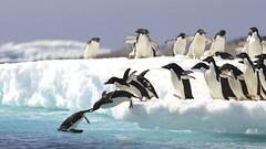 761817 (Paolinov) Tags: motion bird animal horizontal outdoors photography penguin jumping day crowd antarctica diving iceberg mass leadership leaping locomotion icefloe pygoscelis colorimage largegroup adeliepenguin pygoscelisadeliae largegroupofanimals timeofday pauletisland spheniscidae locomoting notreleasednotapplicable advertisingconcept pygoscelissp