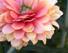 mum 11 (tammybeck) Tags: flowers nikon mum plano 2009 digitalcameraclub wonderfulworldofflowers