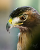 Hawk (FLPhotonut) Tags: bird hawk beak feather 1001nights avian birdofprey redtailedhawk potofgold lowryparkzoo canon50d colorphotoaward canon70200lf4is flphotonut