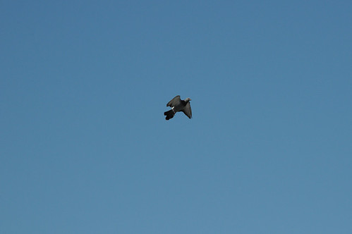 pigeon_4227 web