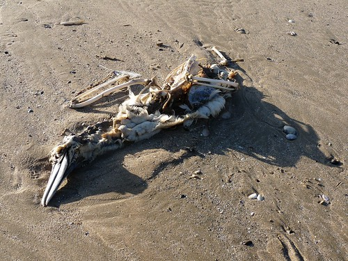 11574 - Gannet corpse on Rhossili Beach, Gower