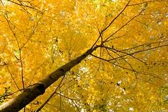 Fractals (Dr. RawheaD) Tags: autumn tree fall yellow pond pentax branches foliage da 1224mm f4 wards k7