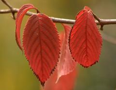 Herfst! (Babbel35) Tags: autumn red leaves dof herfst rood herfstkleuren bladeren