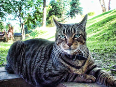 Majestic Bobcat - Read His Story (NjCarGuy) Tags: family pet cat feline tiger kitty domestic bobcat topaz adjust cs4