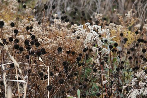 seeds17