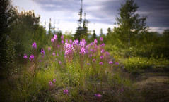 In evening light (Aleksandr Matveev) Tags: light nature landscape flora dof bokeh north explore contax cz 3514 distagon updatecollection czcontaxdistagon3514