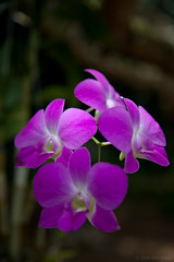 The Wild Orchid (Alex Stoen) Tags: flores orchid flower green nature colors beauty fleurs canon garden geotagged purple natural bokeh details 4 flor naturallight depthoffield vietnam botany mekongdelta pure indochine indochina mekongriver canonef24105mmf4lisusm caibe ef24105f4lisusm 5dmk2 canon5dmarkii alexstoen alexstoenphotography geo:lat=10338578 geo:lon=106038365