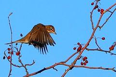 American Robin (tony y. h. tong) Tags: americanrobin birdwatcher otw animaladdiction