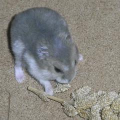 粟の穂を食べるコー太