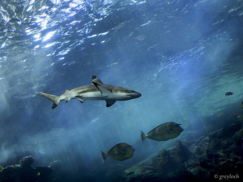 black-tipped reef shark