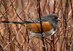 Mrs. Towhee In The Red Willows (ebirdman) Tags: female spotted towhee spottedtowhee pipilomaculatus pipilo maculatus