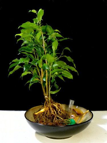 6 Month Old Ficus Prepped For Hydroculture Conversion