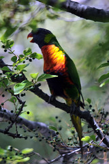 Rainbow Lorikeet #3 - 26 (Vinko Sunde) Tags: blue red wild pet color colour tree green bird yellow fauna colorful pretty native wildlife australian lorikeet tropical colourful inatree rainbowlorikeet intree smallbird