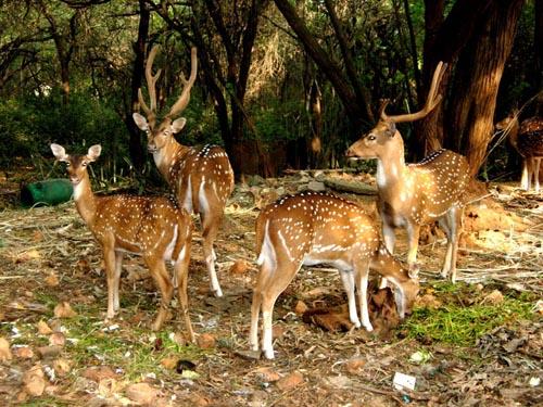 Deer Seen at Puri Marine Drive