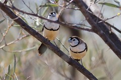 Double-barred Finches (petefeats) Tags: nature birds australia queensland australianbirds passeriformes estrildidae doublebarredfinch taeniopygiabichenovii bowra