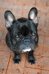Sit & Glare (Lainey1) Tags: dog glare sony bulldog sit stare frenchie frenchbulldog filters ozzy exposure3 nex5 sonynex5