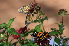 Garden blooms and monarchs DSC_7523 (blthornburgh) Tags: thornburgh tampa florida monarch monarchdanausplexippus milkweedbutterfly danausplexippus butterfly backyard insect flyinginsect flower pattern penta bouquet bouquetofbutterflies butterflies blooming garden butterflygarden nature outdoors colorful