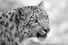 Colorless angry cat (Tambako the Jaguar) Tags: wild portrait bw cute male face cat zoo schweiz switzerland big nikon feline father zurich kitty fluffy zrich snowleopard pissedoff felid d300 schneeleopard snowkitty uncia loparddesneiges panthredesneiges