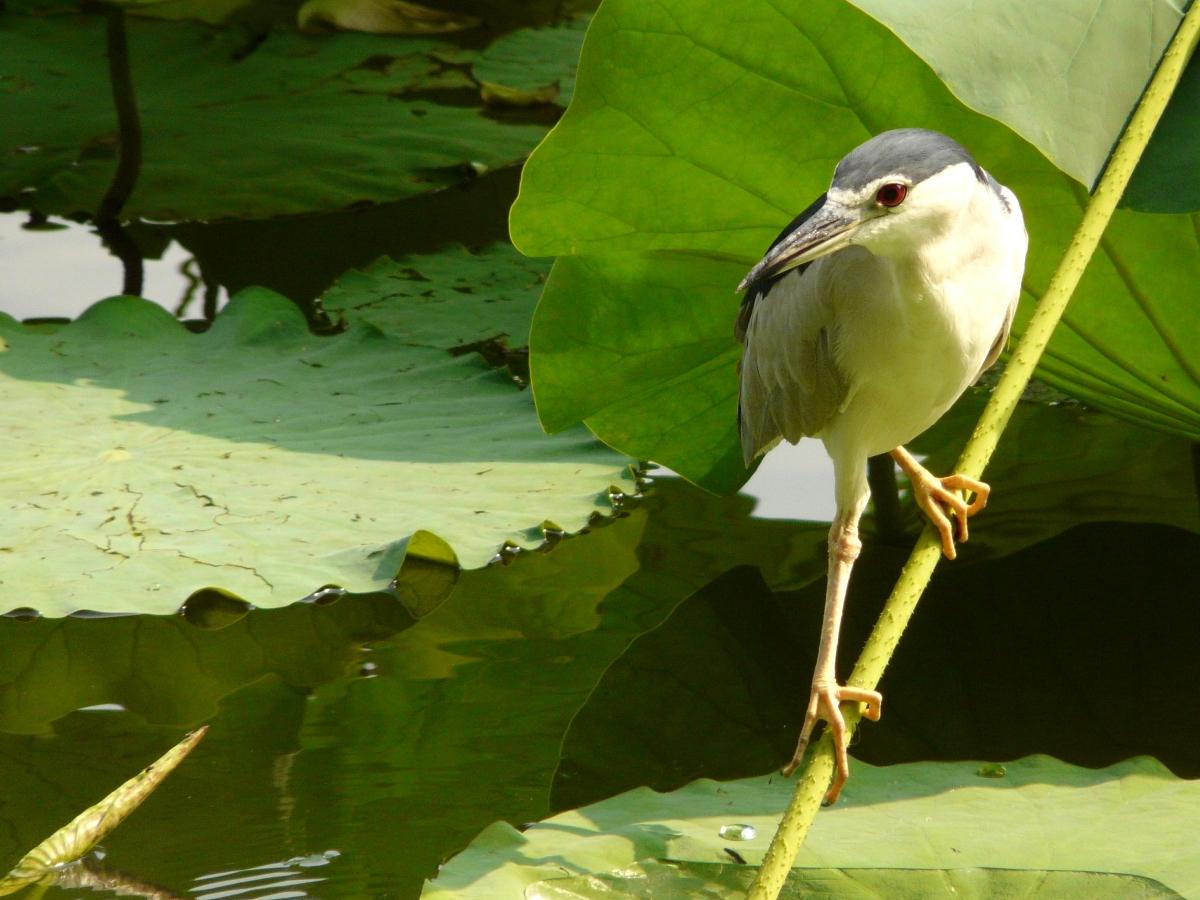 Black-crowned Night Heron (Nycticorax nycticorax) - 夜鷺