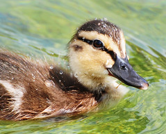 Raindrops on my Head (Habub3) Tags: park sea baby lake bird nature water animal fauna germany deutschland see photo duck nikon wasser stuttgart head sleep natur duckling explore raindrops waterdrops ente garten tha tier vogel wassertropfen schlossgarten kopf d300 castlegarden kken stockente entenkken supershot habub3