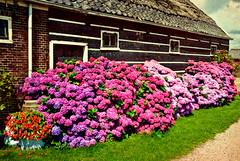 Summer in Holland II (Allard Schager) Tags: flowers summer holland netherlands dutch landscape countryside nikon farm n