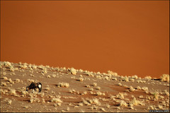 Gemsbok against the dunes of Sossusvlei (Vertical Planar) Tags: sea orange white black tree dead dawn sand desert south dune ostrich antelope pan sesriem namibia acacia burned windhoek vast namib gemsbok vlei lpdesert gazele sossousvlei akaia         lpdeserts