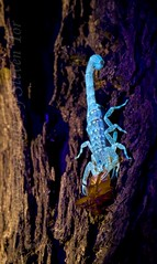 Scorpion that glows in the night (S T O R P H O T O G R A P H Y) Tags: macro nature night dark darkness insects scorpion prey predator nkion blueribbonwinner bej specanimal abigfave theunforgettablepictures goldstaraward alittlebeauty 080809