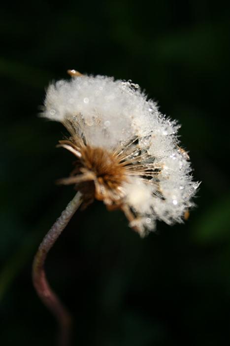 08-10-dandelion