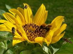 Crowded (evisdotter) Tags: flower macro insects blomma solros humla blomfluga