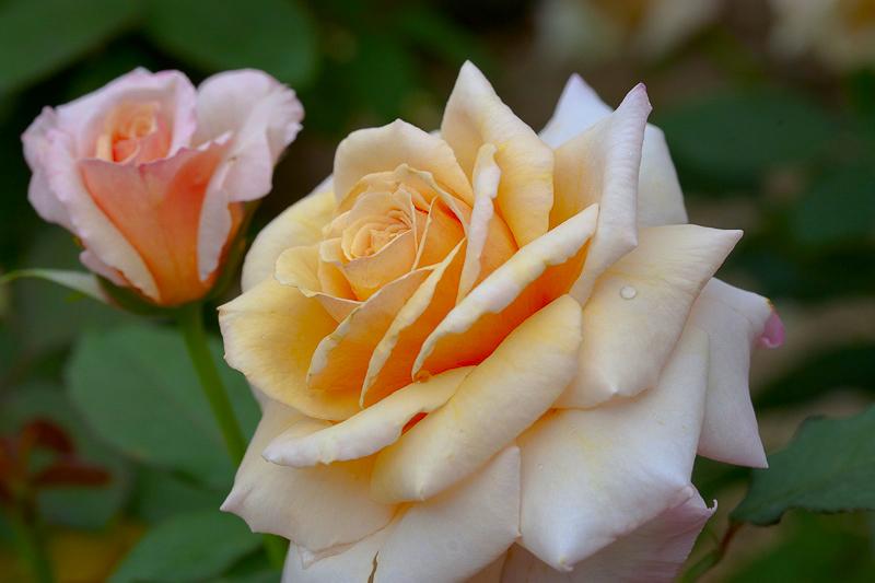 rose-1-LAB